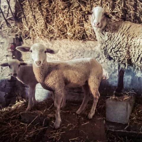 la stalla con le pecore e gli agnellini