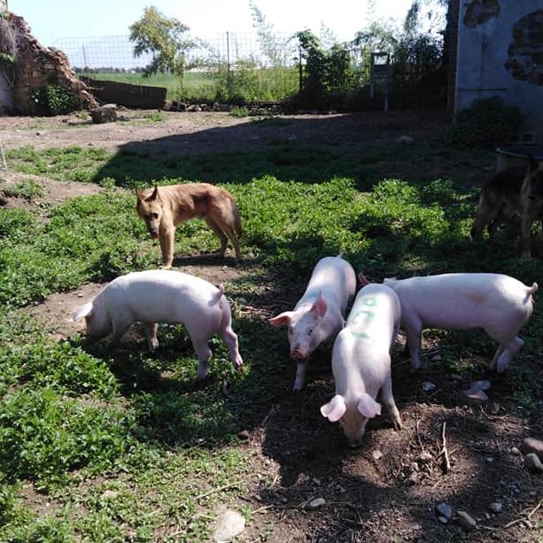 ...non potevano mancare i maialini!